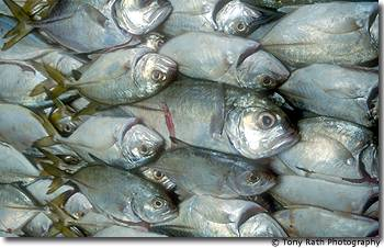 Fish at the coop prepared for export