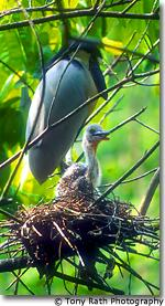Boat billed heron nest