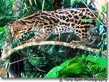 Margay, One of Six Wildcats Found at Chan Chich Mayan Site