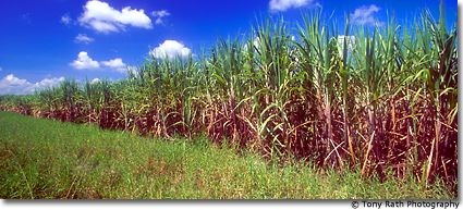 Sugar is King in Northern Belize